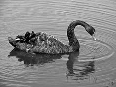 Swan Black  Photo Marj Webber