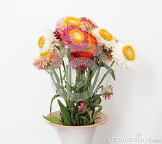Some strawflowers in a garden with different colors