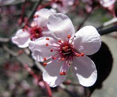 Purple Leaf Sand Cherry - Prunus cistena - Quart Pot