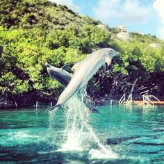 Dolphins are cetacean mammals closely related to whales and porpoises. There are almost forty species of dolphin in 17 genera