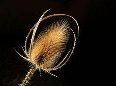 Chardon ardent © Jacques Bury