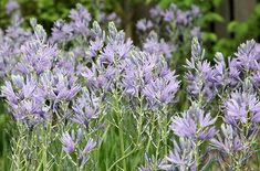 Camassia leichtlinii (Great Camas, Leichtlin's Camas). Used as a traditional food plant by native tribes such as the Blackfoot and Cree. Prefers slightly acidic, rich, moist soil.