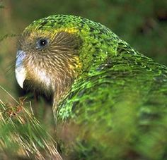 """KAKAPO AN ENDANGERED SPECIES The kakapo is also called the """"owl parrot"""" for its nocturnal habits and owllike body and large eyes. There once were hundreds of thousands of kakapos on the islands of New Zealand in the south Pacific. Flightless Parrot, Kakapo Parrot, Wild Birds Unlimited, Budgies, Parrots, Rare Birds, Small Birds, Endangered Species, Beautiful Birds"""