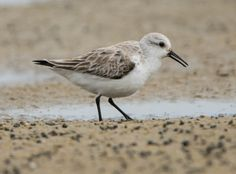 Sanderling: 24 March 2017, Bethel Beach; Onemo, Mathews County, VA; 12:00 p.m., mostly cloudy, breezy, 50 degrees