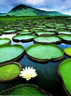 Giant water lilies. Amazon River,  Brazil