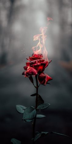 wallpaper rose Rose on fire Rose on fire Flower Phone Wallpaper, Iphone Background Wallpaper, Rose Wallpaper, Galaxy Wallpaper, Wallpaper Samsung, Iphone Wallpaper Fire, Free Wallpaper For Phone, Wallpaper Quotes, Quotes Lockscreen