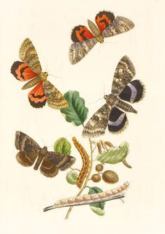 Westwood, British Moths, 1854