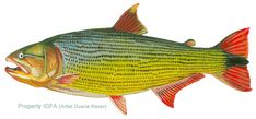 Rainbow trout drawing template external anatomy of the for Koi larousse