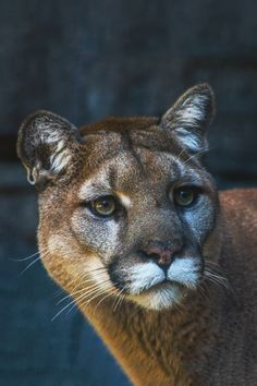 The stare of a female Mountain Lion.