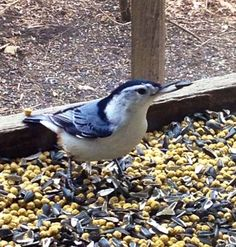 See Nuthatches and more from the Nature Center Bird Watching Room! #hayesarboretum #birdwatching #nuthatch