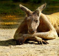 Kangaroo - Kangaroos & Animals Background Wallpapers on Desktop . Nature Animals, Animals And Pets, Funny Animals, Cute Animals, Strange Animals, Red Kangaroo, Australia Animals, Tier Fotos, Animal Faces