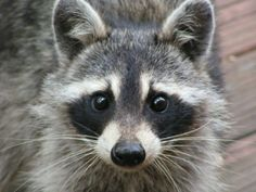 My most favorite critter in the whole wide world (after cats and red pandas) the raccoon! Cute Raccoon, Racoon, Raccoon Drawing, Animal Faces, Woodland Animals, Mammals, Cute Pictures, Animal Pictures, Cute Animals