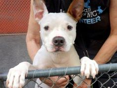 TO BE DESTROYED 04/29/14 Manhattan Center -P  My name is CONAN. My Animal ID # is A0865542. I am a neutered male white and tan pit bull mix. The shelter thinks I am about 5 YEARS old.  I came in the shelter as a OWNER SUR on 04/07/2014 from NY 10016, owner surrender reason stated was PERS PROB.   https://www.facebook.com/photo.php?fbid=787607527918795&set=a.611290788883804.1073741851.152876678058553&type=3&theater