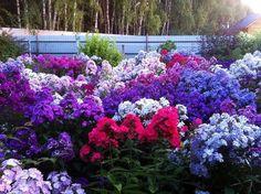 Флоксы в саду-шесть причин вырождения