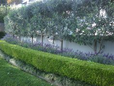 for privacy-pleached olive trees is another take on hedge in the air. The lavender & boxwood add interest as underplantingPlanting for privacy-pleached olive trees is another take on hedge in the air. The lavender & boxwood add interest as underplanting Back Gardens, Small Gardens, Outdoor Gardens, Garden Hedges, Garden Trees, Hedge Trees, Boxwood Garden, Boxwood Hedge, Fence Garden
