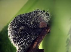 Porcupine Slumber by Melanie  Lankford Photography on 500px