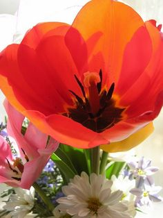 Tulip, love the colors when a flower is back-lit by natural light