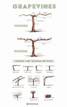 Illustrated Grape Vine Training Methods 8211 Grape vine trellis Grape vine trellis Training vines Vine trellis Garden vines Grape trellis Wine folly f youve ever driven. Grape Vine Trellis, Grape Vine Plant, Bean Trellis, Grape Tree, Grapevine Growing, Wine Folly, Grape Arbor, Wine Education, Education Humor