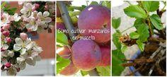 Cómo cultivar ricas y bonitas manzanas en maceta | Plantas