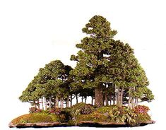 Ezo Spruce Bonsai Forest by Saburo Kato