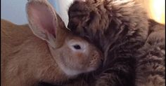 CAT GIF • Cute Kitty and big Bunny are best friends. It's grooming time, don't move.