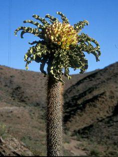 Pachypodium namaquanum flowering