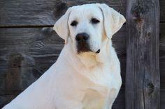 29 Best English Labrador Retrievers Images English Labrador