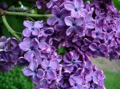 Lilacs are my favorite. They remind me of my mom....