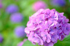 Hydrangea by Masanori Shimizu on 500px