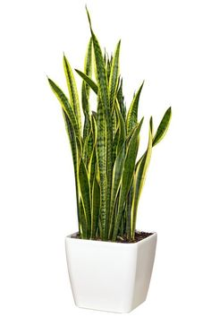 """Sansevieria (also known as Mother-in-Law's tongue) """"That is the all-time indestructible houseplant. It is gorgeous. It's very modern,"""" Debra Prinzing says. It's a great plant for someone who wants something contemporary, geometric and sculptural &mdash and it looks great in a pot. It likes bright light, but Debra has seen it survive in a shadowy spot in her home. Note: Toxic to cats, dogs and horses, says the ASPCA."""