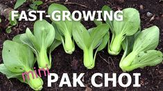 The best pak choi, Green Fortune Fast growing vegetables for your kitchen garden. How to become self-sufficient in less than 1 acre. Fast Growing Vegetables, Square Foot Gardening, Harvest Season, Nature Plants, Balcony Garden, Planting Flowers, How To Become, Acre, Green