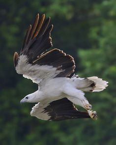 (via White-bellied Sea-eagle by tay choon guan / 500px)