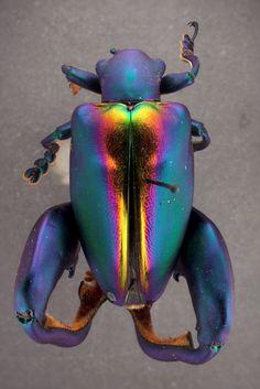 Frog-legged leaf beetle.