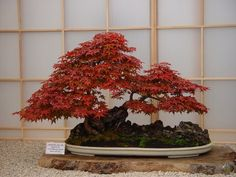 RK:Peter Chan bonsai tree