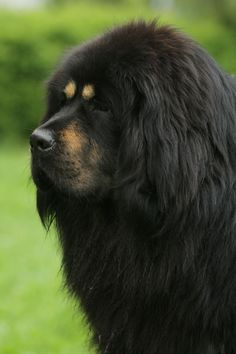 Tibetan Mastiff. ~ aloof, stubborn, intelligent, strong-willed, protective, tenacious (10-12yrs)  (Male:100-160lbs, 26-30in)