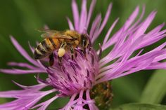 Honeybee at work. by Pierre Anex on
