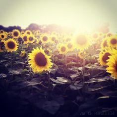 sunflowers at magic hour. via :: oh, hopscotch!