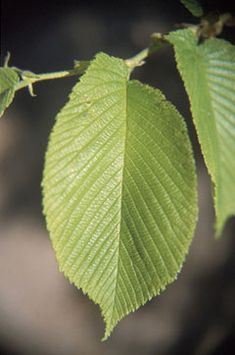 Ulmus rubra Slippery Elm (deciduous tree , raw in salad, cooked as spinach)