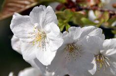 Sakura at Koganei Park   © kanegen/Flickr