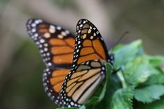 Once a year for four months, the pine and oak forests of the UNESCO-protected Biosphere Reserve, high up in the Transatlantic Volcanic Belt outside of Mexico City, come alive. Starting in early November, on the Day of the Dead, millions of monarch butterflies arrive after their 3,000-mile journey from