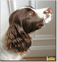 Pictures of English Springer Spaniel Dog Breed Springer Spaniel Puppies, English Springer Spaniel, Spaniel Dog, Springer Dog, Corgi Puppies, Dog Breeds Pictures, Dog Pictures, Field Spaniel, Spaniel Breeds