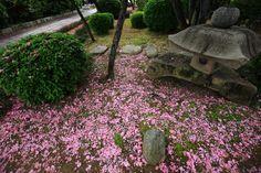京都市上京区にある本満寺の散り桜。ピンクの八重桜のピンクの絨毯。一面の華やかな散り桜と奥ゆかしい灯籠など。2016年4月27日。