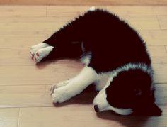border collie puppy cute overload