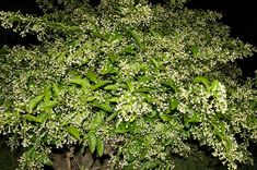 Night Blooming Jessamine (Cestrum nocturnum) - Tropical shrub; indistinct white flowers that open at night; very strong fragrance that can be over powering if planted too close to open windows, porches or patios; zones 8 - 9; full sun