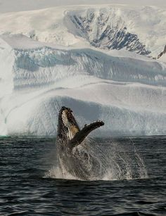 Humpbacks in Antarctica Why Wait? #whywaittravels #traveldesigner 866-680-3211