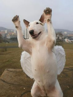 Angel wings))) #Bull #Terrier #Dog #Dogs #Terriers #Sweet #Funny #Cute #Puppy