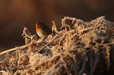 A robin rests on ferns at dawn