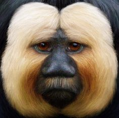 White Faced Saki - The white-faced saki, also known as the Guianan saki and the golden-faced saki, is a species of saki monkey, a type of New World monkey, found in Brazil, French Guiana, Guyana, Suriname and Venezuela.