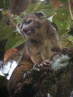 The Olinguito, related to the raccoon, lives in the cloud forests of the Andes Mountains of South America