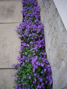 Purple Flowering Groundcover -Campanula Portenschlagiana - a plant that grows in less-than-ideal conditions and has long-lasting foliage.  Plant care info is on the post - via Northern Shade